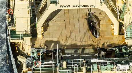It is the first dead Antarctic minke whale to be documented since the ICJ ruling against Japanese whale poachers, according to Sea Shepherd