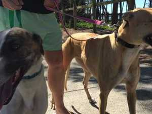 Greyhounds need new homes on the Fraser Coast