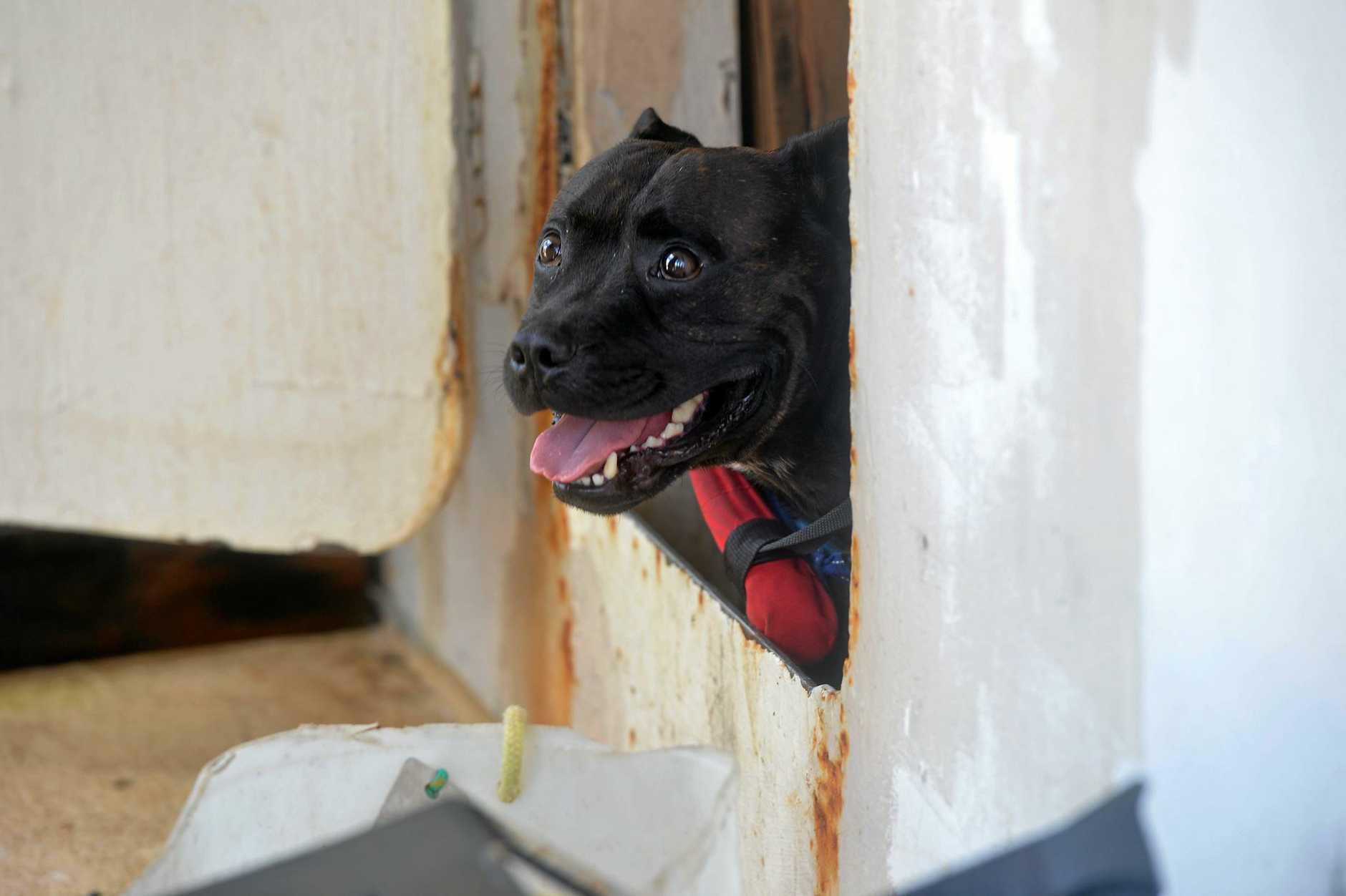 SEA DOG: Stubby the brindle staffy.