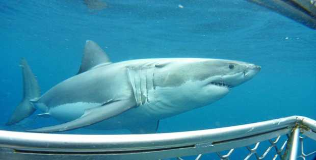 A Great White Shark up close and personal with Scott Deeth during a cage diving experience.