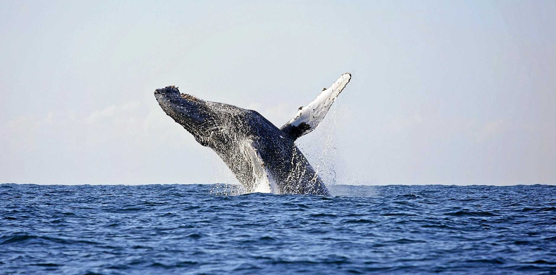 Whale breaching off Coffs Harbour.