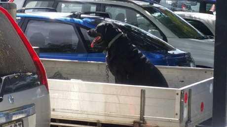 A dog was left in the back of a ute in the hot weather on Wednesday.