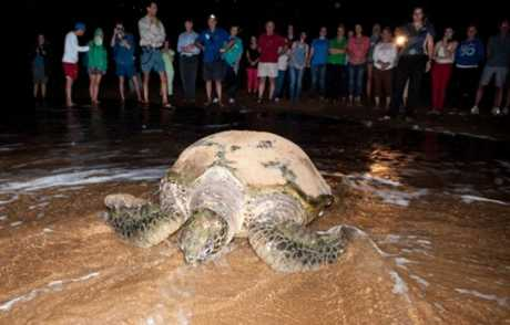 Crowds watch a turtle return to the water after laying eggs on Mon Repos Beach.