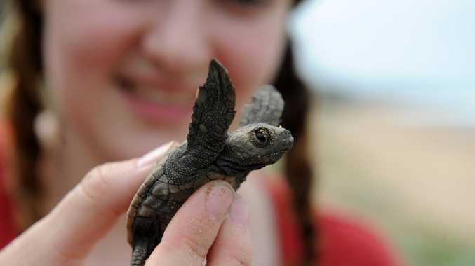 TURTLE CONSERVATION: Volunteer Katherine O'Bree from Melbourne holds a hatchling turtle at Mon Repos Beach.Photo: Mike Knott / NewsMail