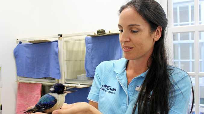 TAFE Animal Science Teacher and Currumbin Wildlife Hospital Nurse Mimi Dona cares for a Kingfisher.