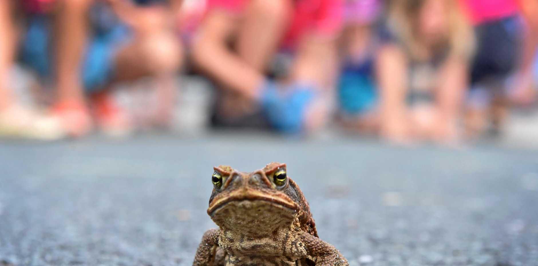 Tramfest Nambour. Tramfest toad races. Photo: Che Chapman / Sunshine Coast Daily