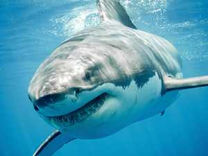Large great white shark spotted off popular Coffs beach
