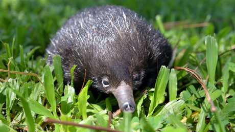 Echidnas are on the move.