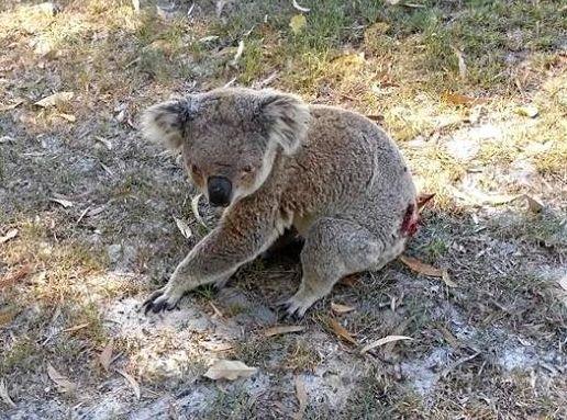 Ballina's koalas are under threat.