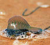 Physalia (Bluebottle, Portugese man-o-war, Pacific man-o-war) jellyfish