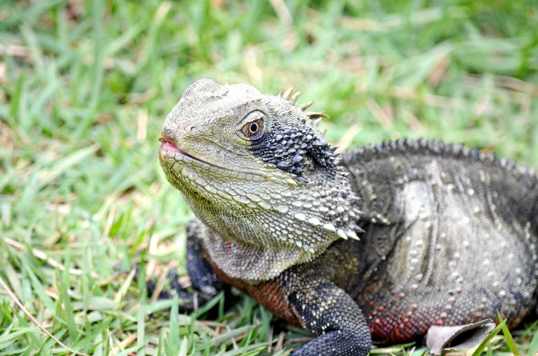 MISTAKEN IDENTITY? Could the Coolum Creek crocodile be a large eastern water dragon?