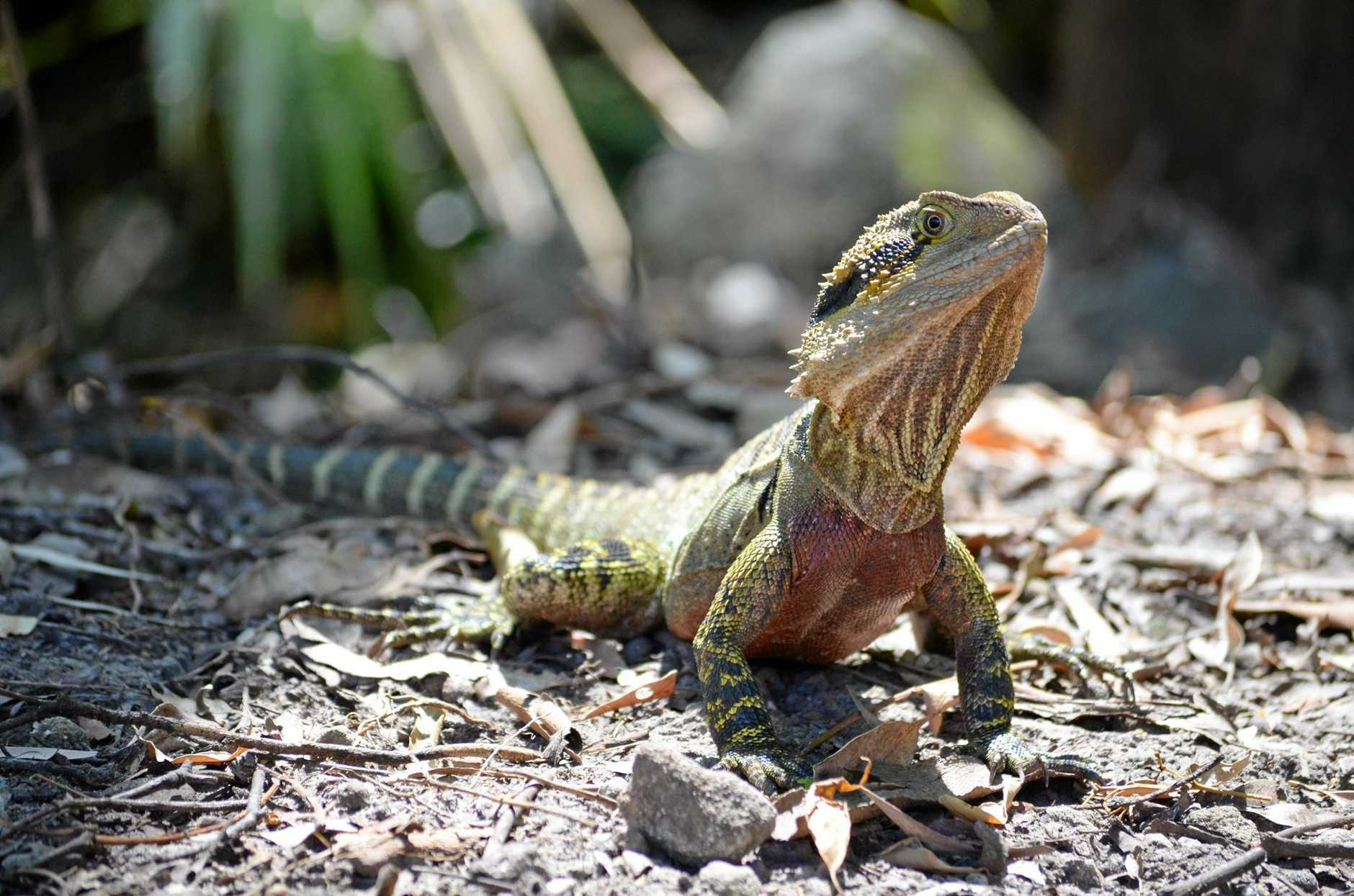 Just thought I would send you a couple of photos from the garden.  A female Eastern Water Dragon laying eggs THIS EVENING in our garden.  Wow! What an experience to witness.  Also a photo of the proud Male sunning himself in the garden a couple of weeks earlier.  Taken with a Nikon D5100.    Thanks,   Matt Shepherd  0407633323  Buderim