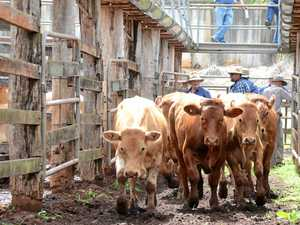 Strong competition at cattle sale