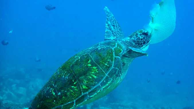 A green sea turtle feeds on a jellyfish.