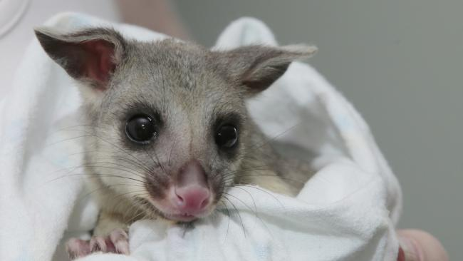 Georgie the possum is now with Wildcare Australian.