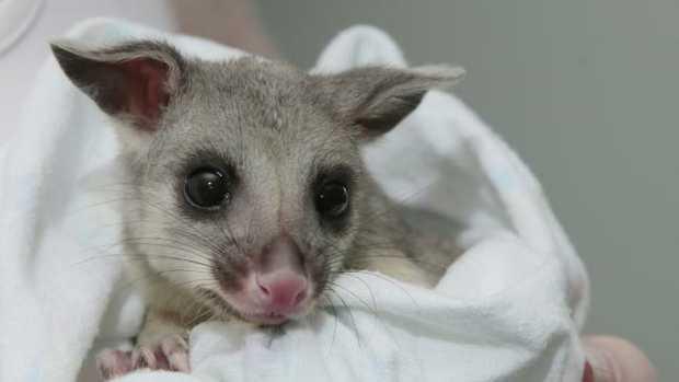 Georgie the possum is now with Wildcare Australian.