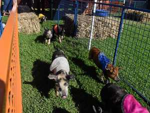 WOLF getting behind annual pig races