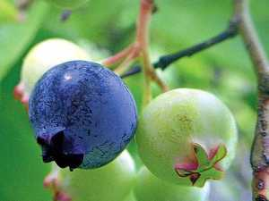 X-Rayed blueberries safe to eat: NSW DPI