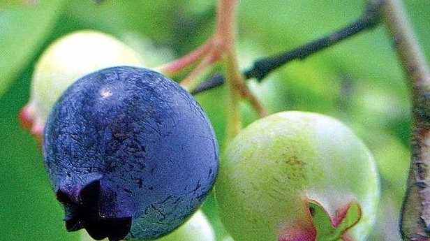 PACKING A PUNCH: Blueberries have plenty of fibre, virtually no fat and loads of vitamins.