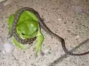 WATCH: Baby python no match for big green tree frog
