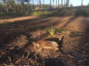 Dead koala found in Ipswich residential development area