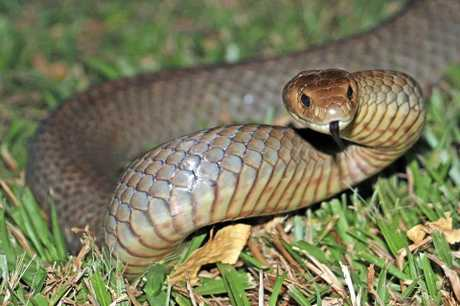 An eastern brown snake.Photo Contributed
