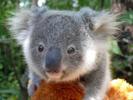 CUTIE: Tallow the Koala is currently under the care of Fauna Rescue Whitsundays volunteers Andrea and Ian Gottke.