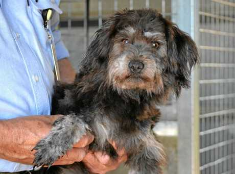 This quiet and docile long-haired terrier cross would make the perfect companion for an older person. She is thought to be at least two years old.