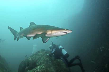 This shark was snapped from an earlier visit to Wolf Rock.