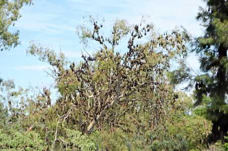 Thousands of bats fill the trees along the Condamine River between Wantley and Wallace Sts.