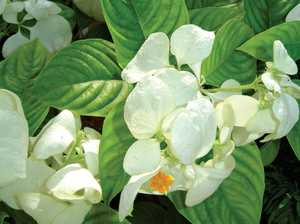 Gardening: Magnificent mussaendas the perfect January plant