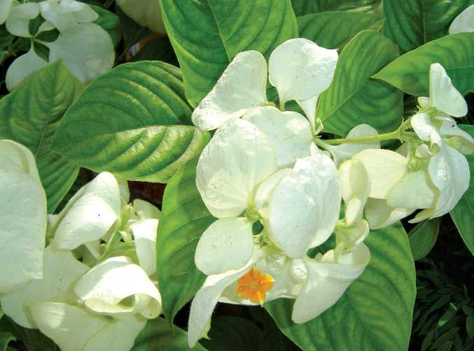The white mussaenda's tiny flower, a simple yellow star, surrounded by bracts.