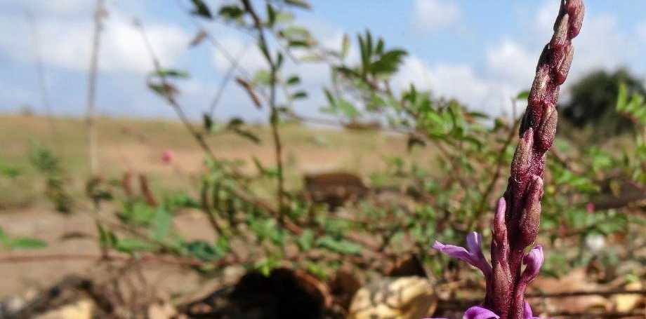 Witchweed, a non-native plant, is one of the world's worst agricultural weeds, according to the QLD Government.