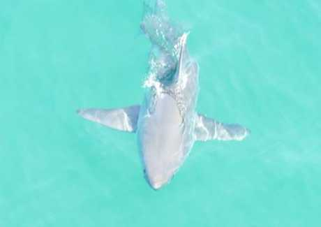 This 2m great white was spotted off Hawks Nest by the Department of Primary Industries on Sunday morning at 10am.
