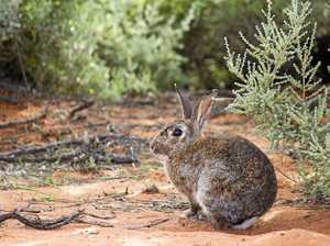 Southern Downs council tackles rabbits