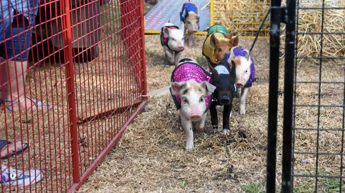 OFF AND RACING: It was a tight field at the Bowenville Pig Races on Saturday, with locals and visitors turning out to catch the popular annual event.