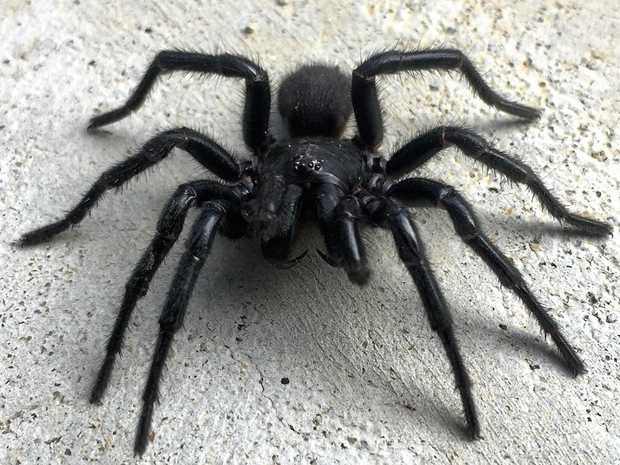 Causing a stir among readers, this was just one of three funnel webs Adam from Safety Beach found in his home.