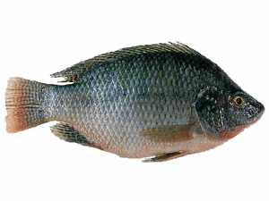 Pest fish found in lagoon
