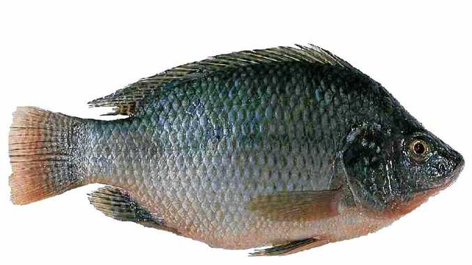 Tilapia is a declared noxious species in Queensland and they've been found in Mullers Lagoon at Bowen.