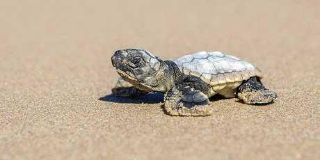 CUTE: A baby loggerhead turtle.