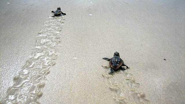 BABY BOOM: Thousands of turtles have hatched in Bundaberg this turtle season.