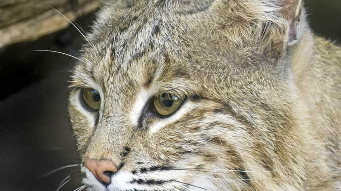 This photo provided by the Smithsonian's National Zoo shows Ollie, a female bobcat the the zoo. Ollie, who escaped from its enclosure at the National Zoo in Washington, is perfectly capable of surviving in the wild and would find plenty to eat in Rock Creek Park if it wanted to stay there, zoo officials said. The female bobcat, believed to be about 7 years old, was found to be missing Monday, Jan. 30, 2017,  morning when it didnt show up for breakfast.