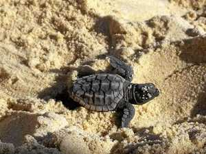 Baby turtles take first steps across Coast beach