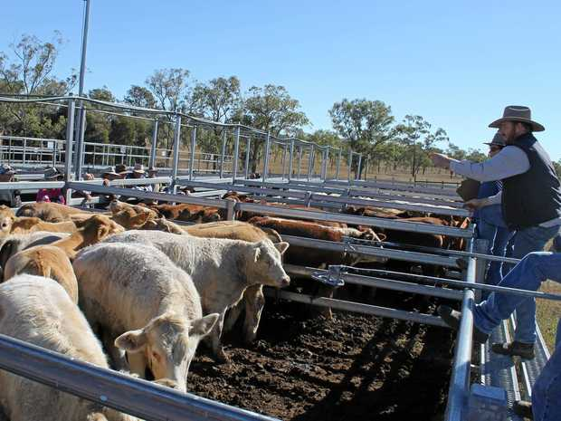 GOOD START: Auctioning the beasts at the Monto Cattle Sale.