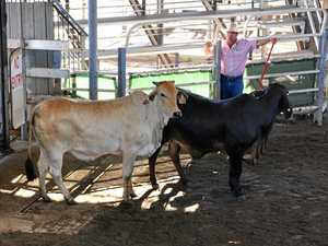 NNSW cattle wrap: Steers remain strong