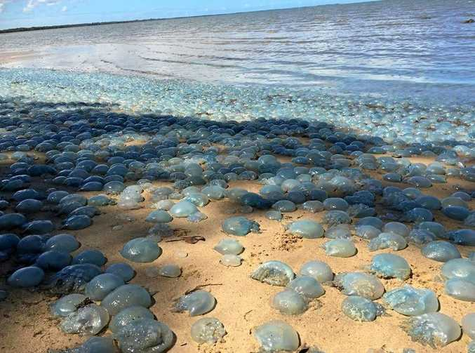 JELLYFISH PLAGUE: Thousands of jellyfish cover the beach at Deception Bay, south of the Sunshine Coast, on January 30.