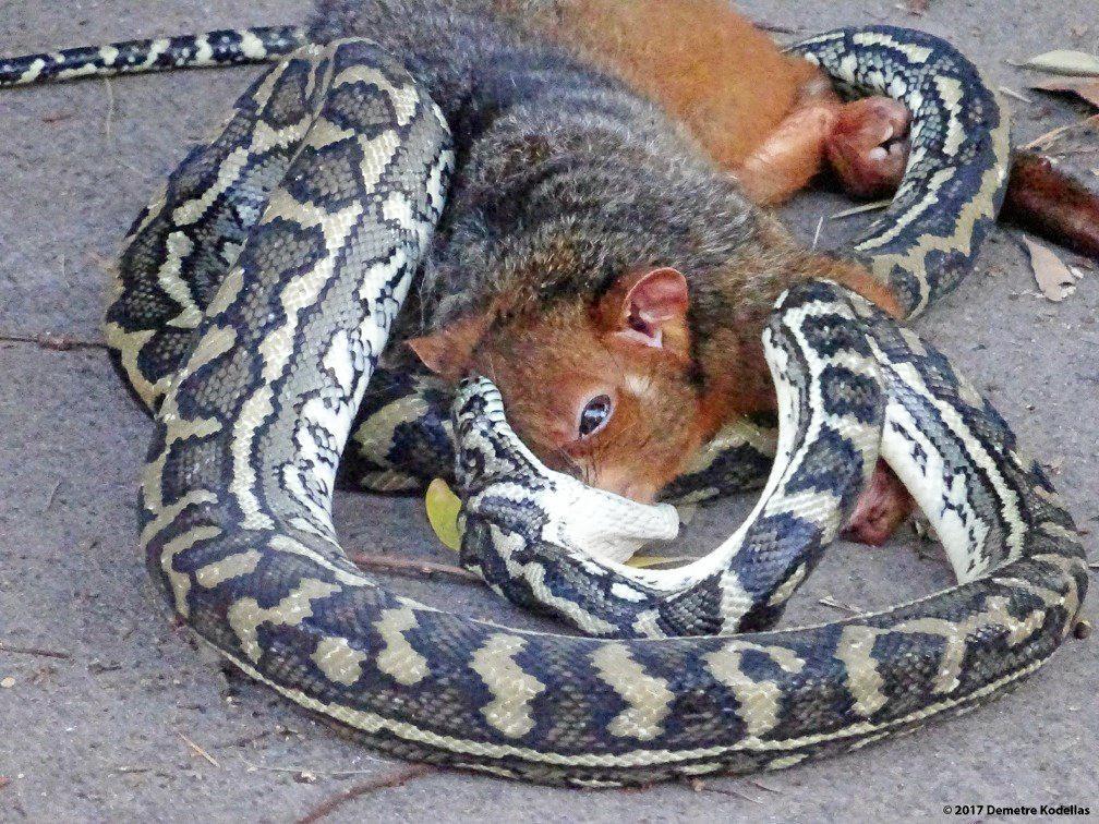 A python devouring a possum on Weyba Esp caused quite the scene.