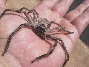 Huntsman spiders: the secret weapon to kill them