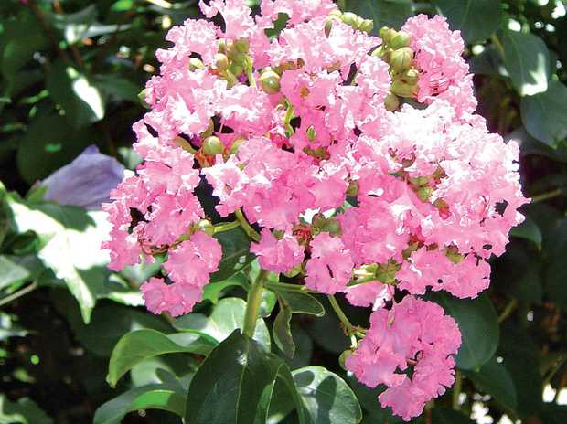 A crepe myrtle, native to eastern Asia, can be grown in almost any garden in Australia.