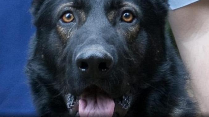 Police dog, Waco died on February 3, 2017.